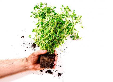 La saludable planta de la mejorana