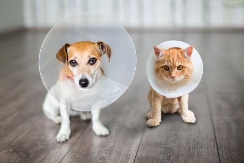Collar isabelino para perros y gatos, qué es y cuándo se utiliza vacunacion- esterilizacion