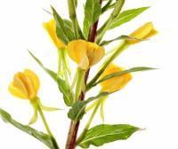 Onagra, la planta de la mujer