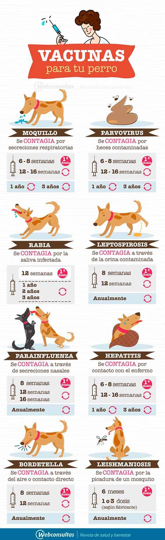 Vacunas Gatos Calendario.Vacunacion De Perros Domesticos Como Funciona Y De Que Les